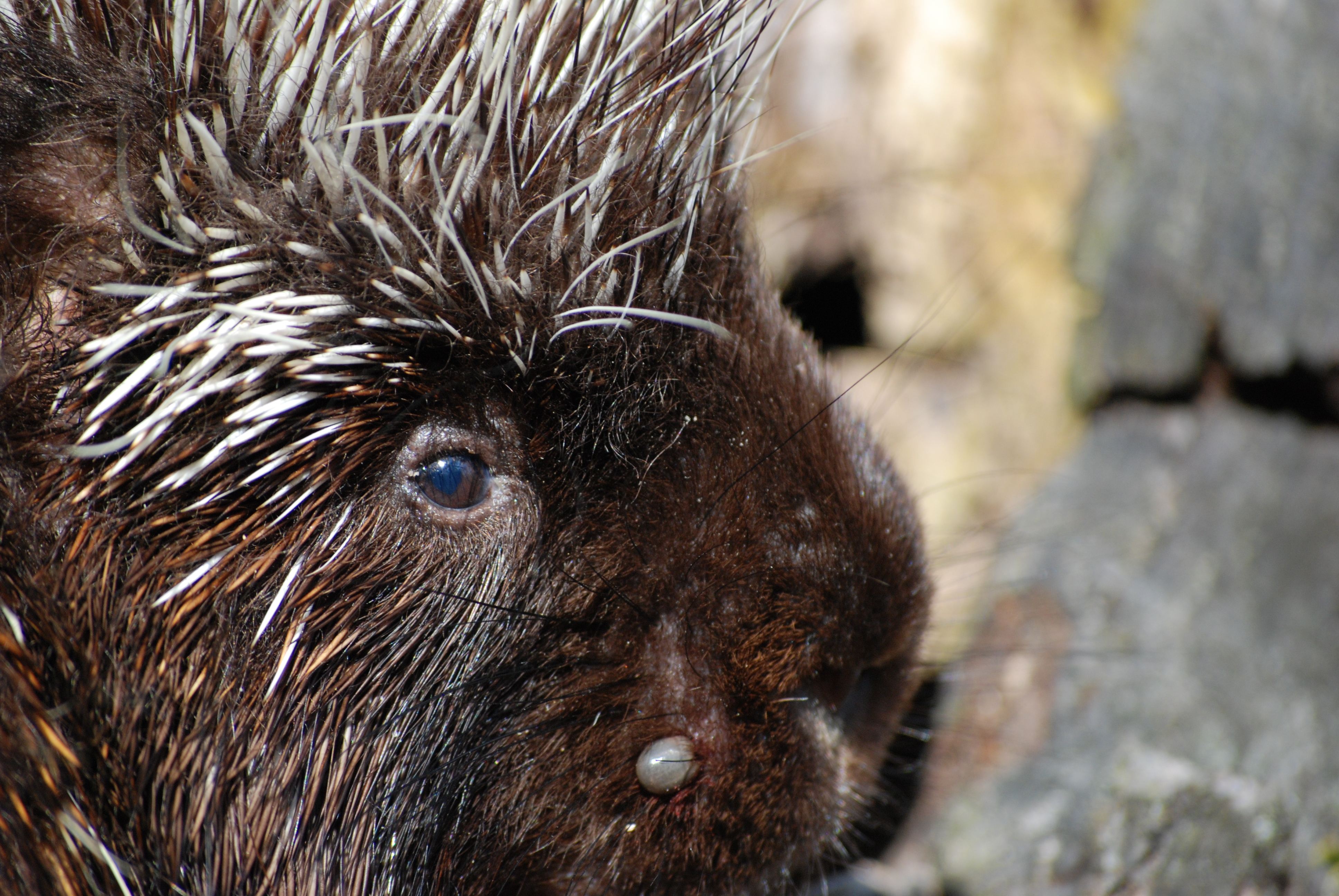 Porcupines « Writing for Nature