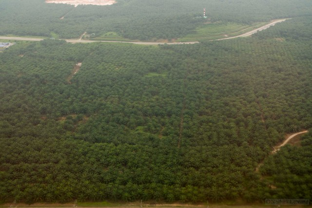 Oil palm plantations are increasingly wide-spread through South East Asia