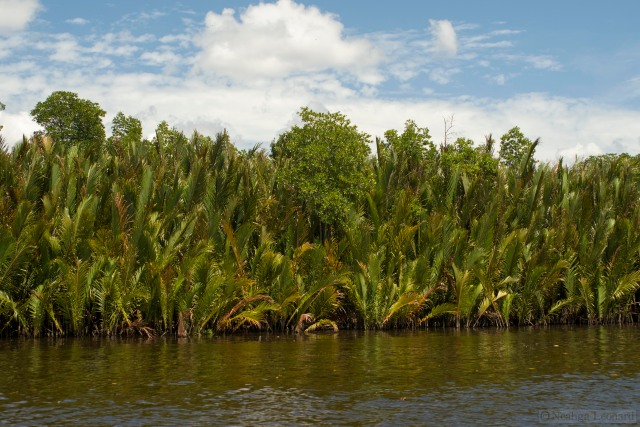Nipa Palms (Nypa fruticans) growing along the banks of the river delta