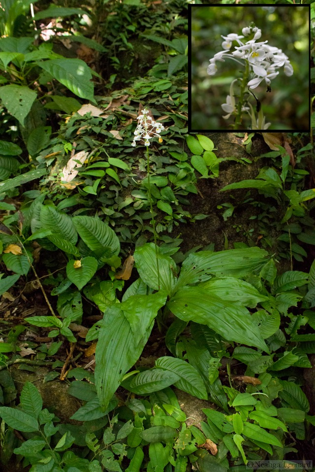 Large ground orchid in the Borneo rainforest