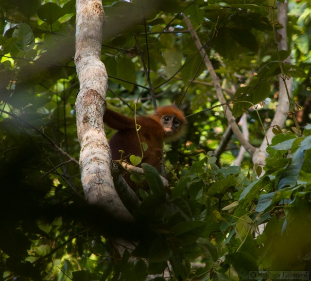 Red Leaf Monkey watching me