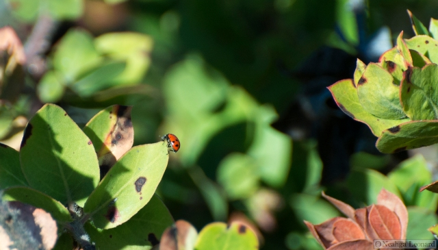 Convergent Ladybug (Hippodamia convergens) on manzanita leaf